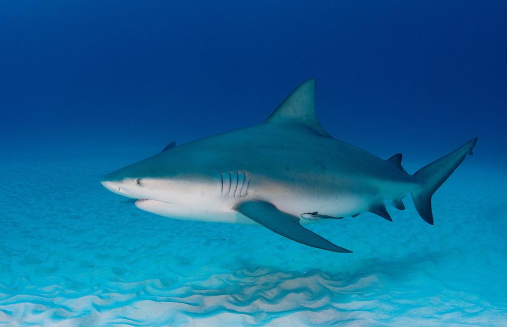Bull shark, Carcharhinus leucas, off Playa Del Carmen, Mexico.