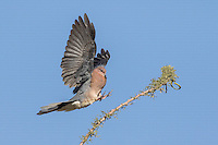 Laughing Dove Streptopelia senegalensis coming into land with wings outstretched alighting on branch, Eilat, Israel