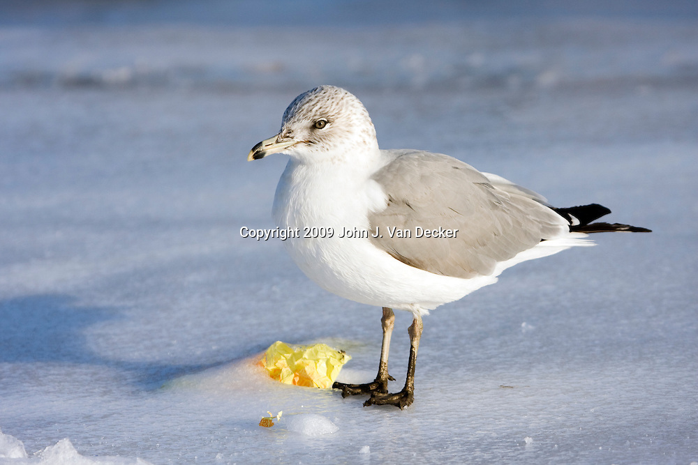 Ring-billed Gull standing on ice