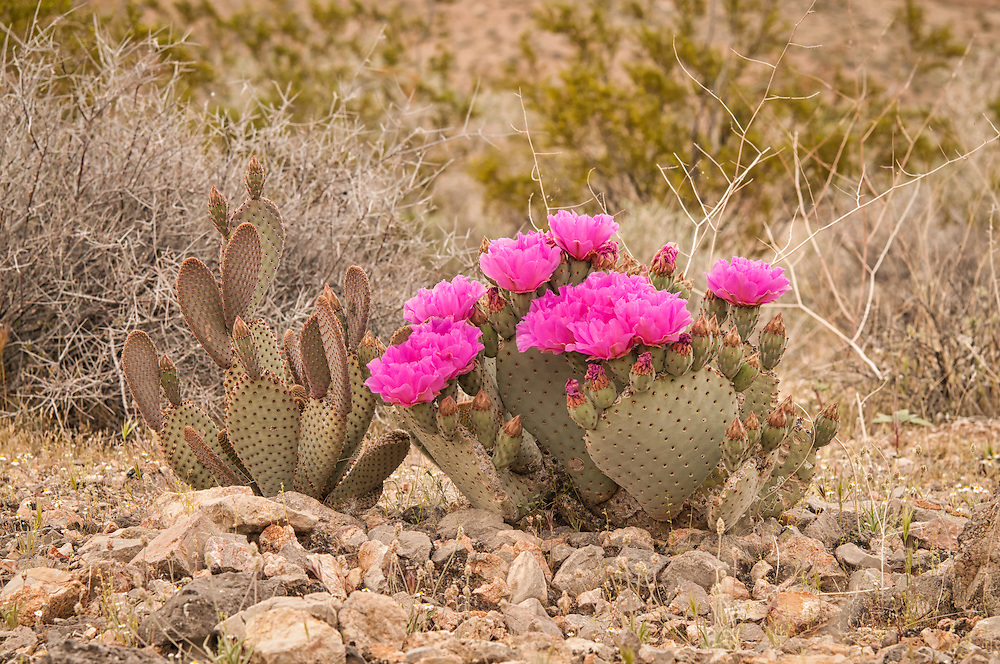 This very common species of cactus is spectacular in bloom with its showy display of fuschia flowers in the spring, such as this beavertail cactus in full blossom in Southern Nevada.