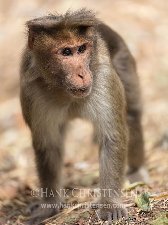 A rhesus macaque walks on hands and feet, Mudumalai National Park, India.