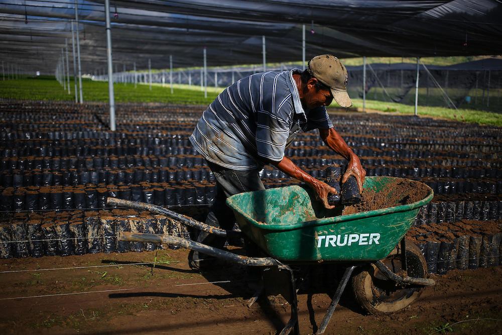 A worker places recently planted coffee trees in the Jaltenango coffee tree nursery in Chiapas, Mexico. (Joshua Trujillo, Starbucks)