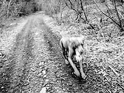 Sugar running with large elk spine bone