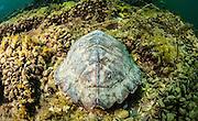 Dossière de tortue géographique. | Geographic turtle back.