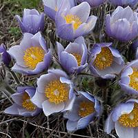 Pasque flower. Springhill, Bozeman, Montana.