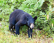 A young black bear in Kouchibouguac National Park, New Brunswick, Canada.