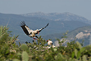 White Stork (Ciconia ciconia).  Adult arriving to its nest with a branch in its beak while the other parent salutes.