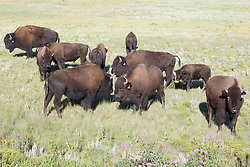 American bison herd in meadow, Vermejo Park Ranch, New Mexico, USA.