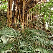 Dwarf Sugar Palm and Banyan, Kenting, Pingtung County, Taiwan