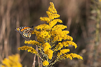 A migrating Monarch Butterfly stops for a fuel up on some Goldenrod at Moses Cone Memorial Park just outside of Blowing Rock, North Carolina.