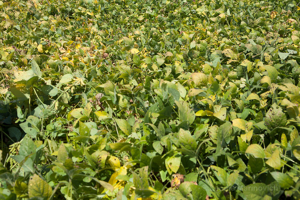 7-8 March 2011. Bergville and Winterton area, Commercial farmers from the No-Till Club. Anthony Muihead (70) has been practising Conservation Agriculture or No-till farming for 15-20 years. This is  a field of soyabeans grown for seed purposes. Notice the significant residue it is grown in.