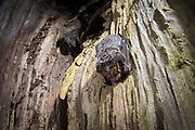 A hoary bat (Lasiurus cinereus) day roosting inside a tree snag. Northern Oregon. © Michael Durham / www.DurmPhoto.com