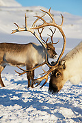 Reindeers graze in deep snow in natural environment in Tromso region, Northern Norway.