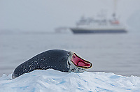 A leopard seal showing its teeth on an iceberg with ship in the background in Bul's Bay, Antarctica.
