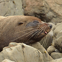 A New Zealand Fur Seal (Arctocephalus forsteri) outside of Kaikoura, New Zealand.