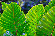 Giant taro leaf, Waipio Valley, Big Island of Hawaii