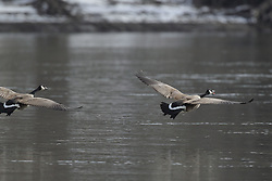 11 February 2017:  Canadian Geese (Branta canadensis) enjoy the Illinois River at Starved Rock State Park in Illinois