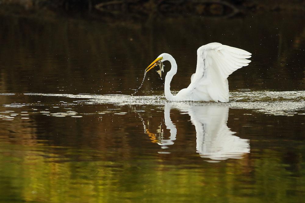 Great egret (Ardea alba) fishing in a stream in Guanacaste, Costa Rica, Central America.