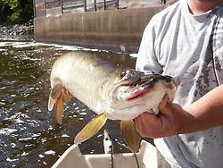The beast a Wisconsin fly rod muskellunge