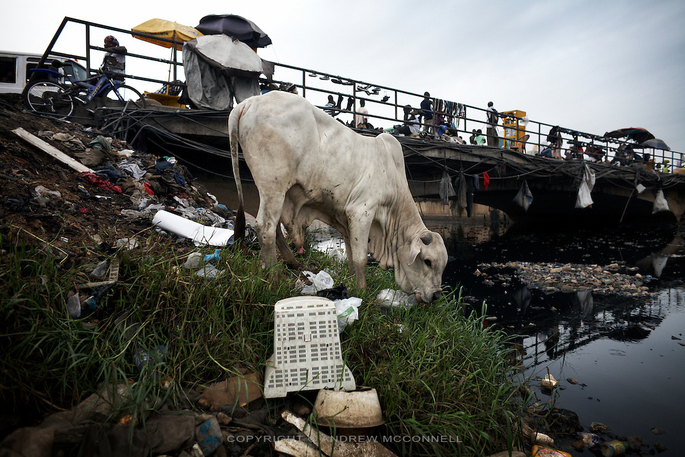 A cow chews grass from amongst the e-waste, on the edge of Agbogbloshie dump, in Accra, Ghana.