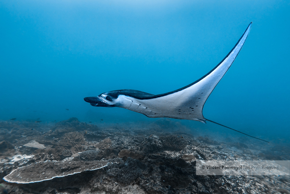 Giant oceanic manta ray-Raie manta océanique (Manta birostris), Nusa Penida island, Bali, Indonesia.