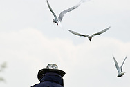 Under attack from the Arctic terns