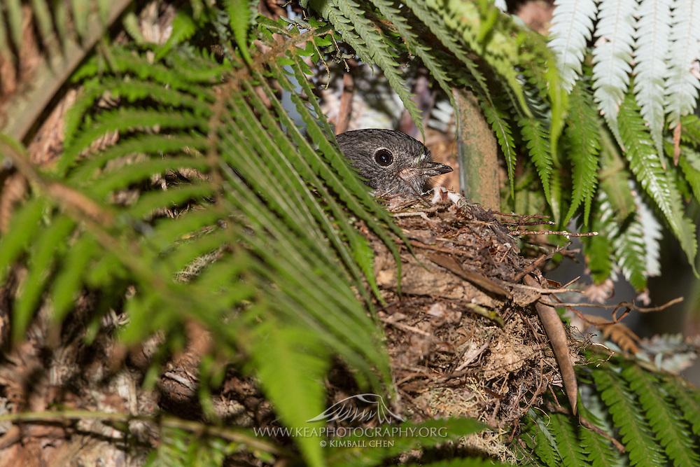 The female North Island Robin is solely responsible for nest building during breeding season.  Tiritiri Matangi, New Zealand.