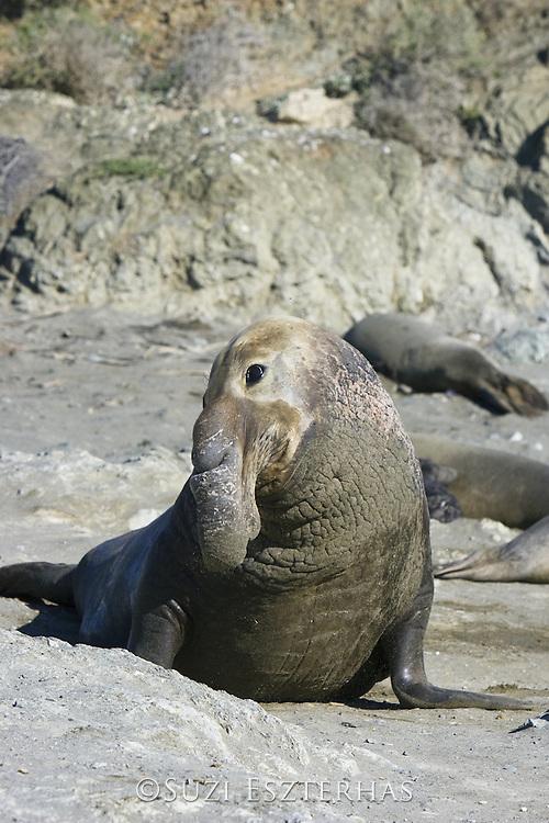 Northern Elephant Seal<br /> Mirounga angustirostris<br /> Bull<br /> San Benito Island, Baja California, Mexico