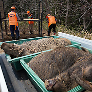 TOMIOKA TOWN, JAPAN - MARCH 30 : Members of Tomioka town's animal control hunters group set-up a booby trap for the wild boar at a residential area near Tokyo Electric Power Co's (TEPCO) tsunami-crippled Fukushima Daiichi nuclear power plant in Tomioka town, Fukushima prefecture, Japan, March 30, 2017. (Photo by Richard Atrero de Guzman/NUR Photo)
