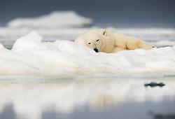 Polar bear (ursus maritimus) on drifting ice in Storfjorden, Spitsbergen, Svalbard, Norway