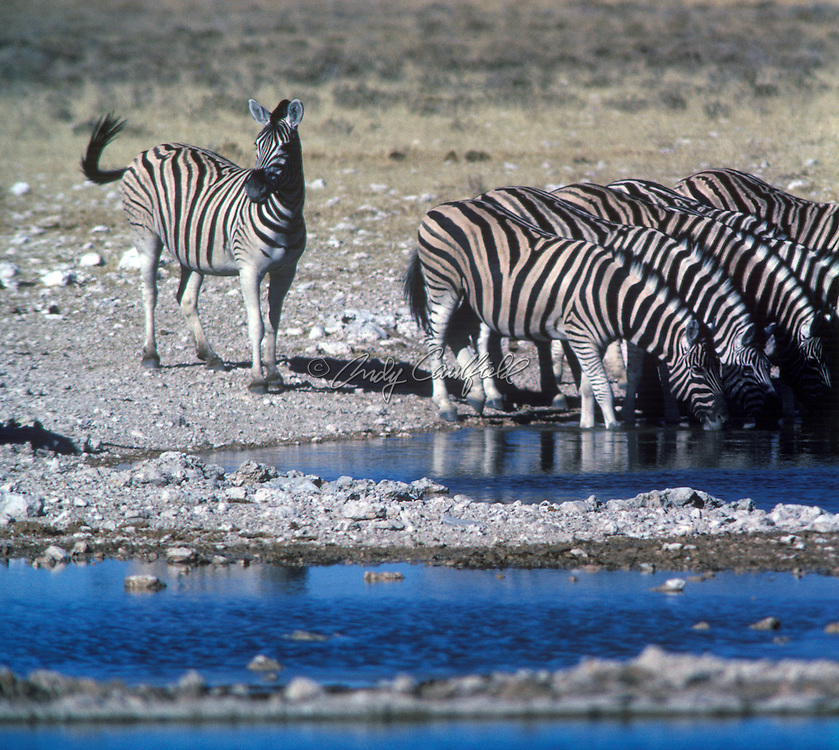 Champman's Zebras at watering hole in the Etosha National Park, Namibia, Africa.Equus burchellii antiquorum