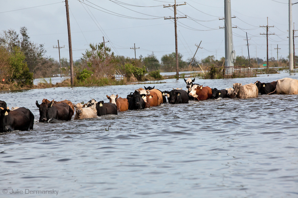 Plaquemines Parish, Louisiana- August 31, Cows make their way to higher ground in Hurricane Isaac flood waters.