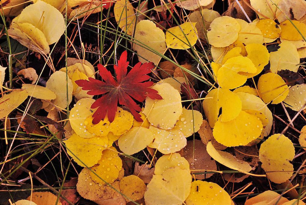 Aspen leaf litter, and red Virginia creeper. Colorado