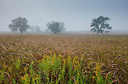 Indian Grass and Goldenrod are drenched with moisture on a foggy morning at the Tall Grass Prairie National preserve, Kansas