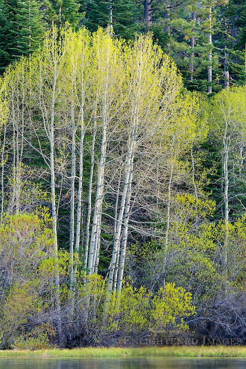 Aspen trees at Fallen Leaf Lake, near South Lake Tahoe, El Dorado County, California