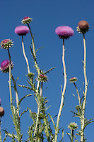 Invasive Nodding Thistle (Carduus nutanns), Llano County, Texas