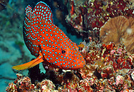 similan island, red tropical grouper right side