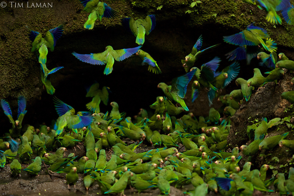 Cobalt-winged Parakeets (Brotogeris cyanoptera) feeding on clay at the clay lick east of Anangu and south of the Napo River, Yasuni National Park, Orellana Province, Ecuador