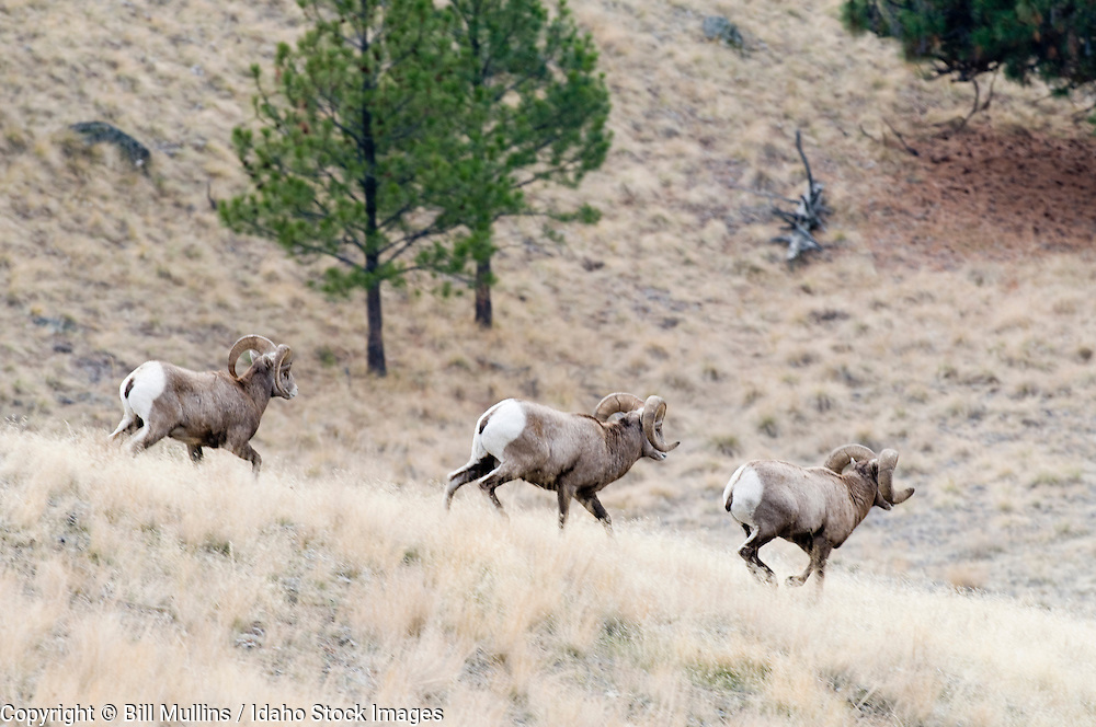 Three Rocky Mountain bighorn sheep (Ovis canadensis) rams running down hill on Wildhorse Island in Flathead Lake Montana