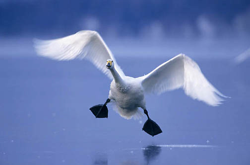 Whooper Swan, (Cygnus cygnus)  On Lake Kussharo. Japan.