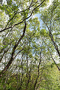All of Orkney's native tree species are found in this ancient relic of woodland including Rowan, Aspen, Downy Birch, Hazel and several willow species.