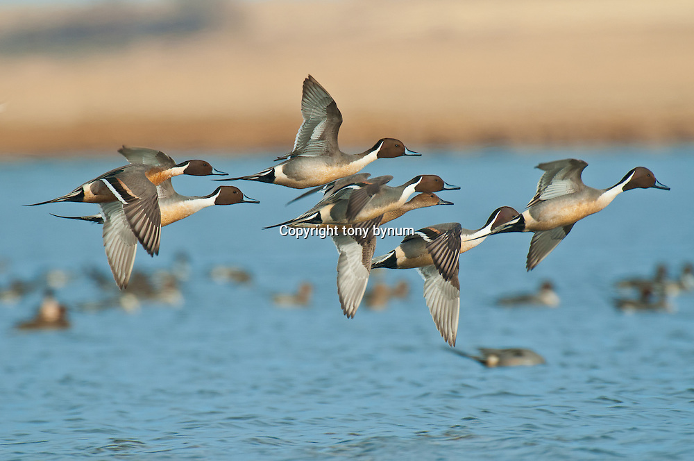 courtship flight pintail ducks, wetland background, blue sky