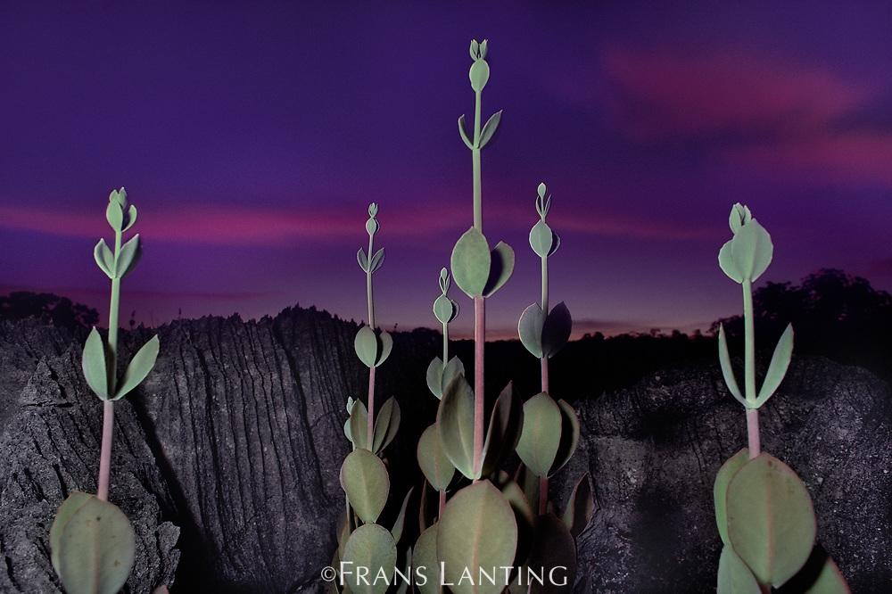 Succulent plants on limestone plateau, Kalanchoa gastonisboniri, Western Madagascar