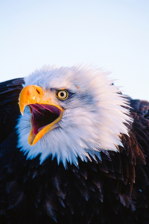 Alaska.  Bald Eagle cries.  (Haliaeetus leucocephalus). Indigenous to North America, The bird gets its English and scientific names from the distinctive white color of the adult's head feathers. Baeld is the Old English word for white; Haliaeetus is the New Latin for sea eagle, from Greek haliaetos, and leucocephalus is the Greek for white head, from leukos (white) and kephale (head).Males can grow up to 9lbs in weight, 50,000 bald eagles live in Alaska.