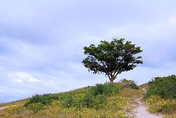 Lone Tree on Tall Dune, Fort Fisher, North Carolina