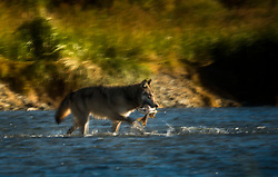 Wild Grey wolf (Canis lupus) hunting salmon in Katmani National park, Alaska, US