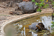 SAN CRISTOBAL, GALAPAGOS ISLANDS, ECUADOR: August 18, 2005 -- GALAPAGOS ISLANDS DAY 2  -- Lonesome George, the last Pinta Island Tortoise, (subspecies Geochelone nigra abingdoni), rests in his enclosure on San Cristobal Island on Day 2 in the Galapagos Islands, Ecuador August 18, 2005...Steve McKinley Photo.