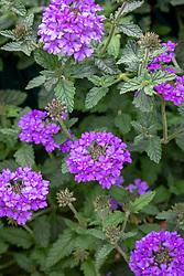 Verbena EnduraScape 'Blue'