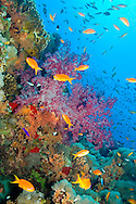 Alberto Carrera, Coral Reef, Red Sea, Egypt