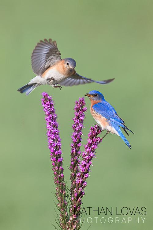 Eastern Bluebird pair on Liatris;  Minnesota.